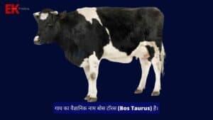 Cow scientific name